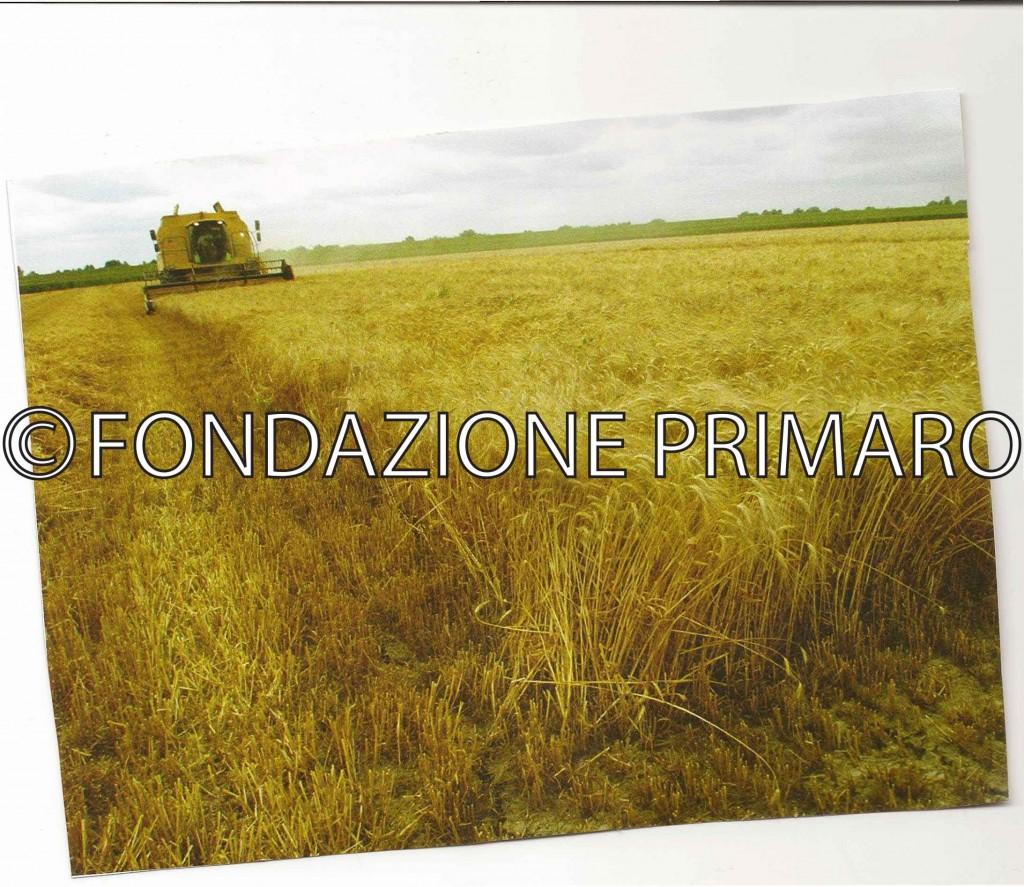 Campi-di-grano-(dal-libro-di-Mario-Rebeschini-Amore-per-la-terra-Cinqunt'anni-della-CAB-Giulio-Bellini